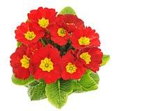 Красивый свежий красный цветок primula Стоковое Изображение RF
