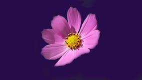 Красивый свежий розовый цветок Стоковые Фото