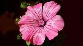 Красивый свежий розовый цветок Стоковые Изображения