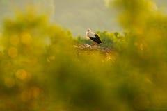 Красивый свет в природе, с птицами в аисте гнезда белом, аист аиста, в гнезде с 2 детенышами Сцена живой природы от natur Стоковое фото RF