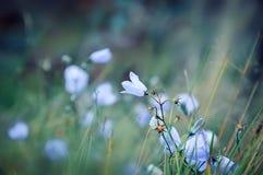 Красивый свет - голубое rotundifolia колокольчика цветка колокольчика в фокусе но с нежностью из предпосылки фокуса Стоковая Фотография