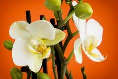Красивый свет - желтая орхидея цветет с бутонами Стоковые Фото