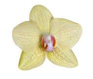 Красивый свет - желтое цветене орхидеи в розовых пятнах Стоковые Изображения RF