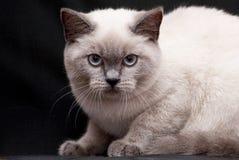 Красивый свет - серый кот сидит стоковые изображения rf