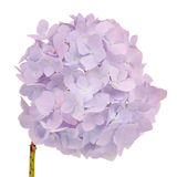 Красивый свет - фиолетовая гортензия цветет на белой предпосылке Стоковая Фотография RF