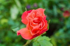 Красивый светлый цветок красной розы стоковая фотография rf