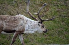 Красивый северный олень пася на nect зеленой травы к общественной дороге автомобиля в летнем времени Стоковые Фото