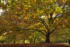 Красивый сезон осени среди долины Genal каштана в Малаге Стоковая Фотография
