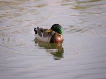 Красивый селезень кряквы на пруде Стоковая Фотография RF