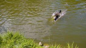 Красивый селезень скачет в воду от берега и заплывы в воде в пруде Это славные рамка и воспроизведение slo-mo сток-видео