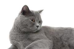 Красивый серый кот (время 11 0 месяцев) лежа на белой предпосылке Стоковые Фотографии RF