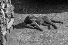 Красивый серый кот ослабляя на том основании, чернота & белизна Стоковые Изображения