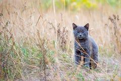 Красивый серый кот сидит в сухой траве стоковые изображения