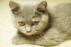 Красивый серый шотландский кот с желтыми глазами лежа на ковре стоковые фото