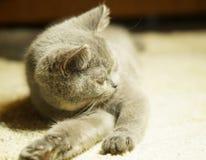 Красивый серый шотландский кот с желтыми глазами лежа на ковре стоковое изображение rf