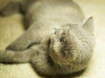 Красивый серый шотландский кот с желтыми глазами лежа на ковре стоковое фото