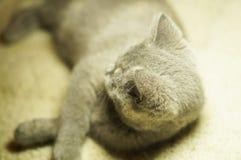 Красивый серый шотландский кот с желтыми глазами лежа на ковре стоковые изображения