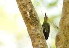 Красивый седовласый woodpecker на стволе дерева Стоковые Фото
