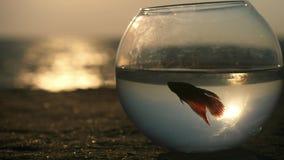 Красивый силуэт рассказа splendens маленьких Betta рыб плавает в круглый аквариум морем на заходе солнца окружающая среда концепц видеоматериал
