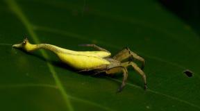 Красивый Скорпион-замкнутый паук на зеленых лист, скача паук в Таиланде Стоковые Фотографии RF