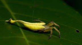Красивый Скорпион-замкнутый паук на зеленых лист, скача паук в Таиланде Стоковое Изображение RF