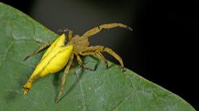 Красивый Скорпион-замкнутый паук на зеленых лист, скача паук в Таиланде Стоковые Изображения