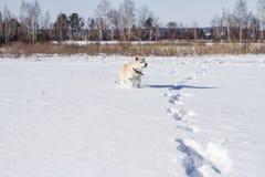 Красивый смешной умный японец Акита Inu собаки родословной стоит в поле снега при его язык вставляя вне в зиме Стоковые Изображения RF