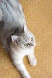 Красивый смотреть кота Стоковые Фото
