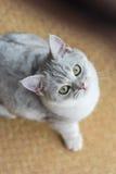 Красивый смотреть кота Стоковое Изображение