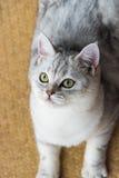 Красивый смотреть кота Стоковое Изображение RF