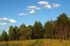 Красивый, сосновый лес Стоковые Изображения