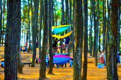 Красивый сосновый лес в Yogyakarta стоковые изображения rf