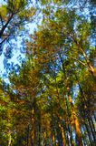 Красивый сосновый лес в Yogyakarta стоковые фото
