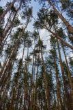 Красивый сосновый лес против взгляда голубого неба нижнего Необъятность и концепция глуши древесина сосенки предпосылок полезная Стоковые Фото