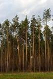 Красивый сосновый лес против голубого неба Необъятность и концепция глуши древесина сосенки предпосылок полезная Стоковая Фотография