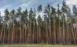 Красивый сосновый лес против голубого неба Необъятность и концепция глуши древесина сосенки предпосылок полезная Стоковая Фотография RF