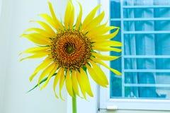 Красивый солнцецвет ландшафта стоковые фотографии rf