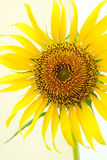 Красивый солнцецвет ландшафта стоковое фото rf