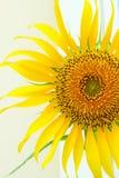 Красивый солнцецвет ландшафта стоковая фотография
