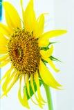 Красивый солнцецвет ландшафта стоковые изображения rf