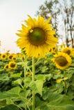 Красивый солнцецвет ландшафта Стоковые Изображения