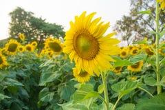 Красивый солнцецвет ландшафта Стоковое Изображение RF