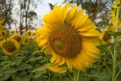 Красивый солнцецвет ландшафта Стоковая Фотография RF