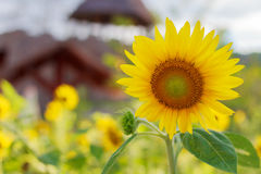 Красивый солнцецвет в graden стоковое изображение rf