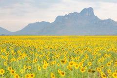 Красивый солнцецвет полного цветения, который хранят с предпосылкой горы Стоковая Фотография RF