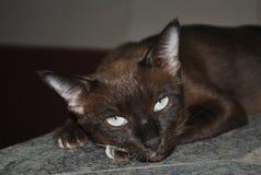 Красивый стиль Азии кота Брайна Стоковые Фото