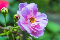 Красивый стог на одном другое лепестков розы стоковые фото