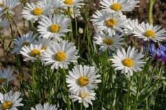 Красивый стоцвет растя в луге Стоковые Фотографии RF