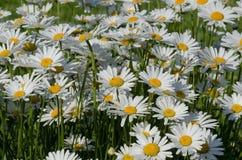 Красивый стоцвет растя в луге Стоковое фото RF