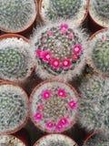 Красивый суккулентный кактус Стоковое Изображение RF